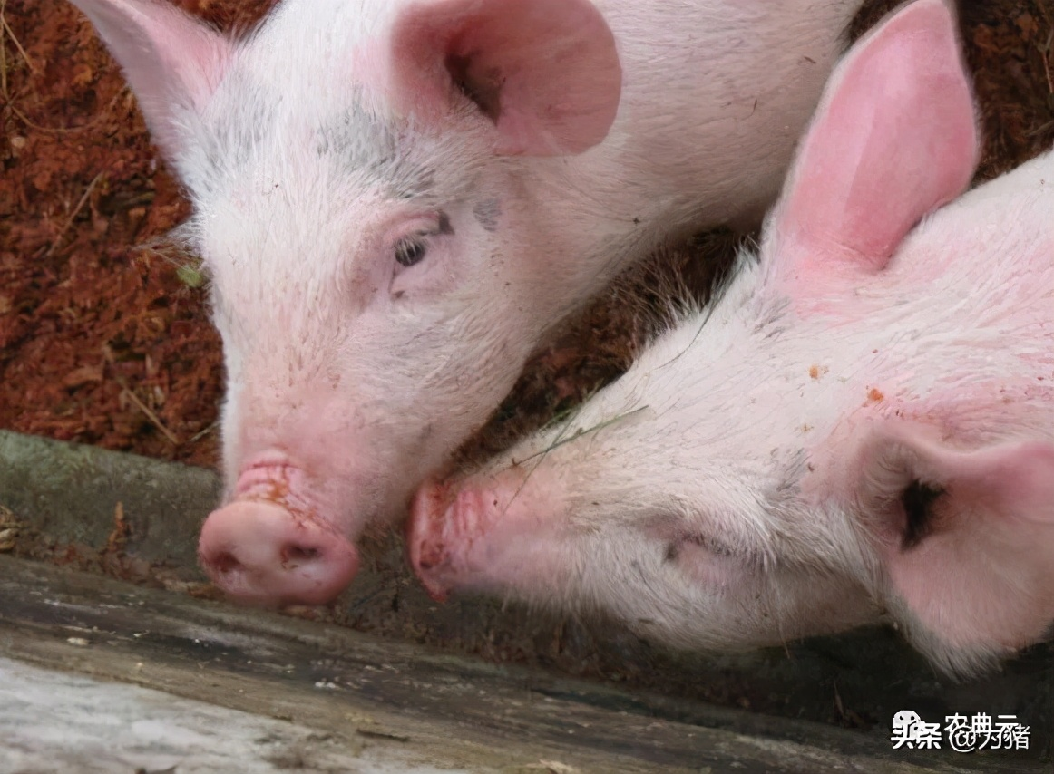 生物安全必须重视,非洲猪瘟传播途径与防控措施